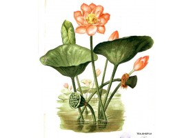 Rozā lotoss